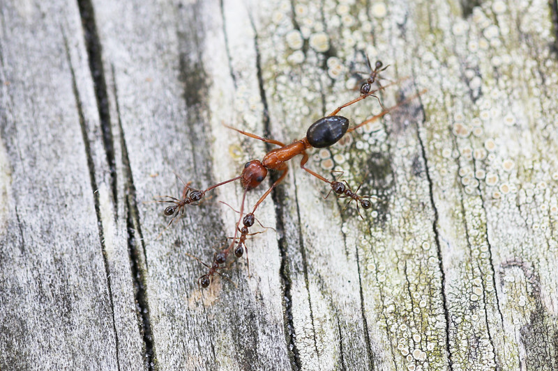 Unidentified Ants (Formicidae)