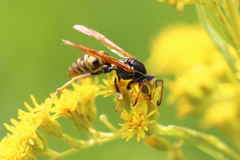 Paper Wasp Male (Polistes aurifer)