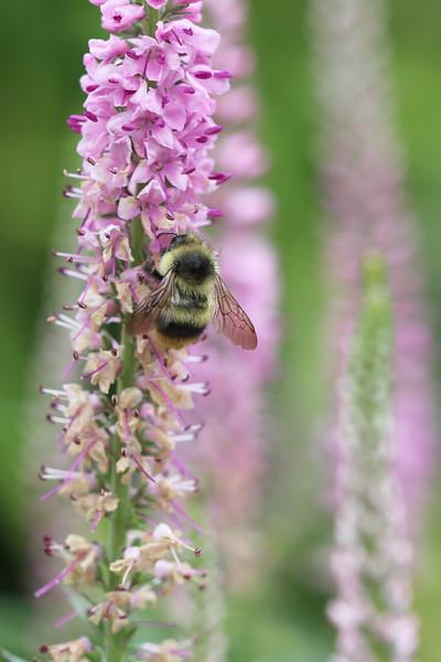 Bumbe Bee (Bombus)
