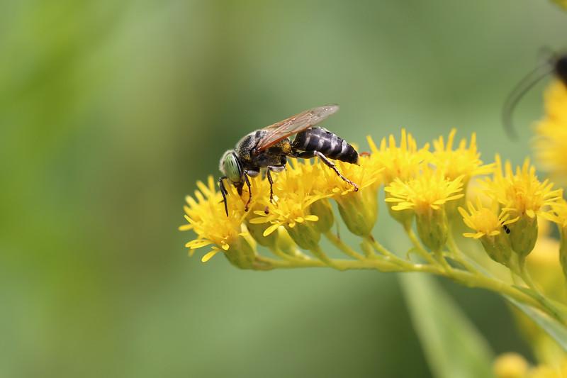 Unidentifed Wasp