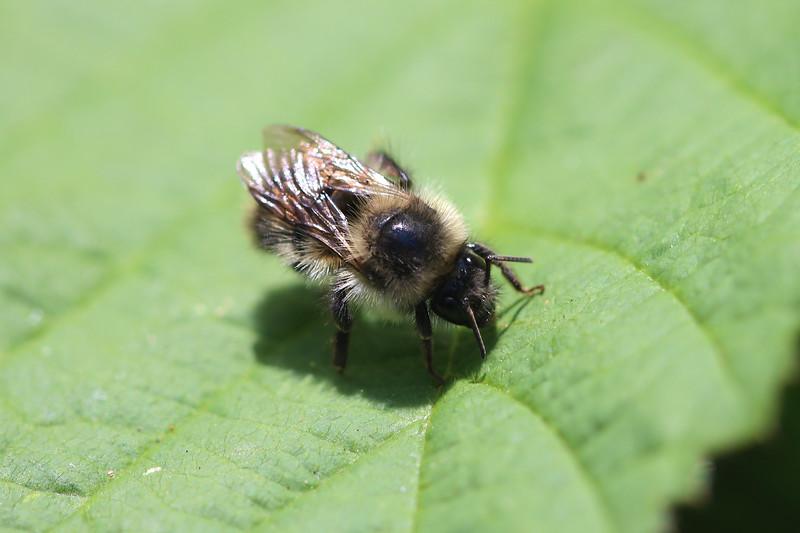 Bumble Bee (Hymenoptera)