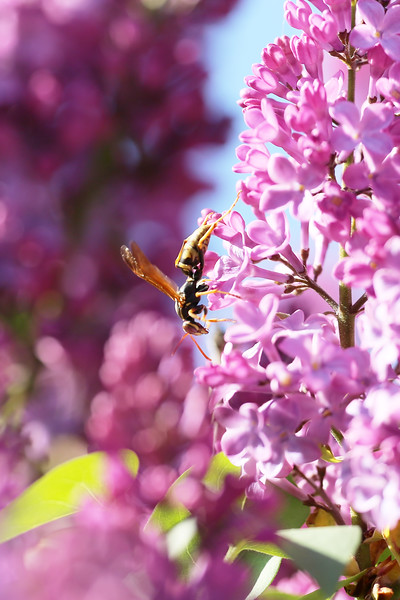 Paper Wasp Spring Queen (Polistes aurifer)
