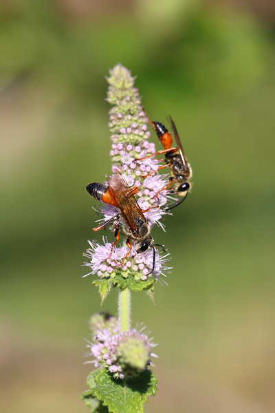 Great Golden Digger Wasps (Sphex ichneumoneus)