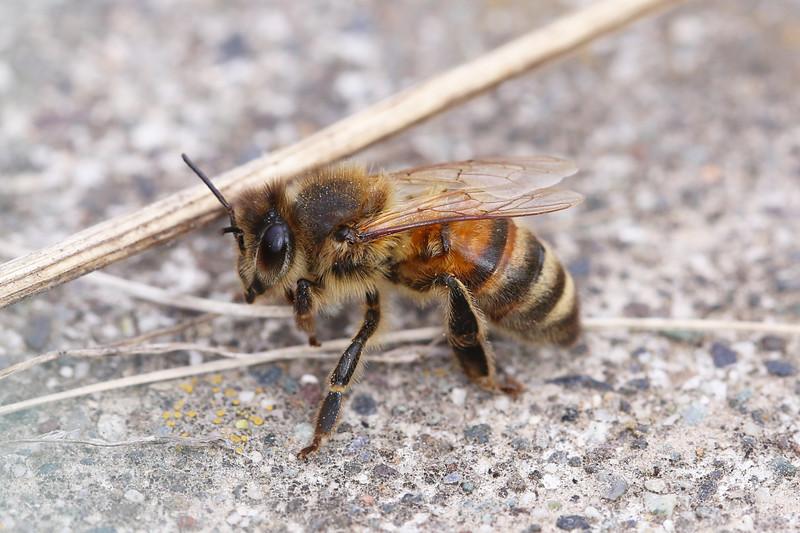 Western Honey Bee (Apis mellifera)