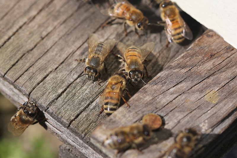 Honey bees at an almond orchard. Photograph taken in the San Joaquin Valley near Hughson, CA, USA.