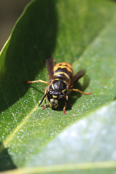 Yellow Jacket (Vespidae)