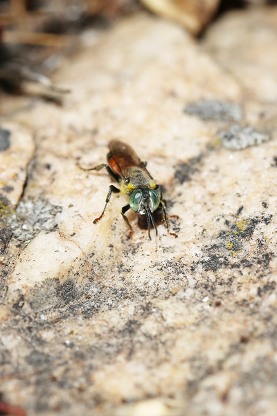 Square-headed Wasp (Crabroninae)