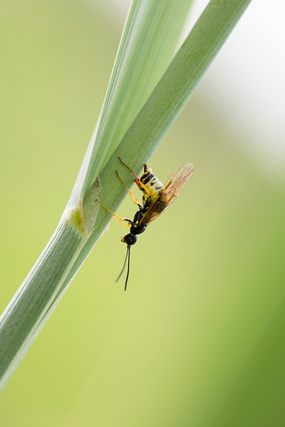 Sawfly Ovipositing (Symphyta)