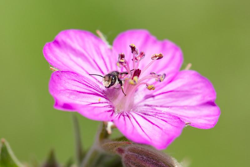 Unidentified Bee (Hymenoptera)