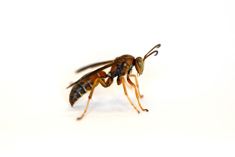 Unidentified Male Paper Wasp (Polistes)