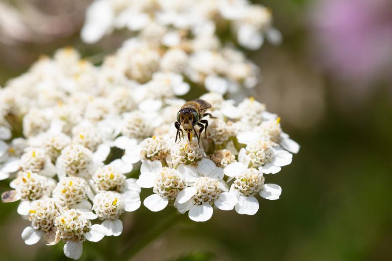 Leafcutting Bee (Megachilidae)