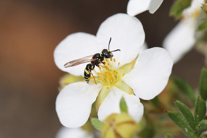 Beewolf Wasp (Philanthus)