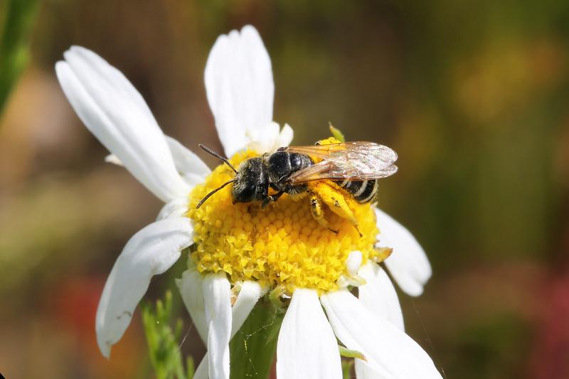 Sweat Bee (Halictidae)