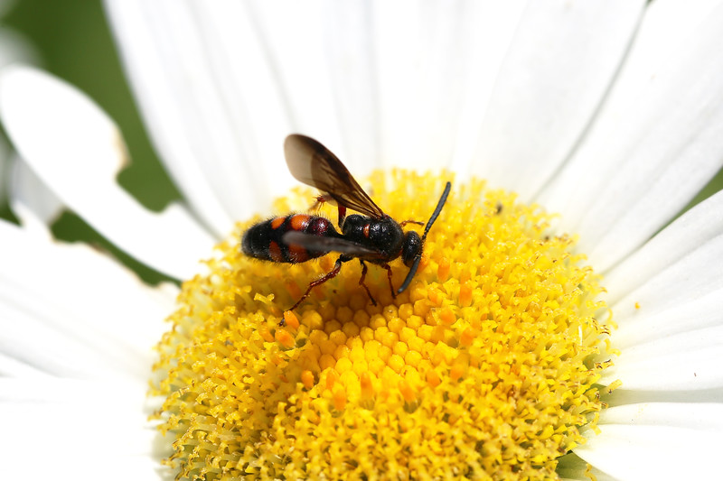 Scarab Hunter Wasp (Scoliidae)