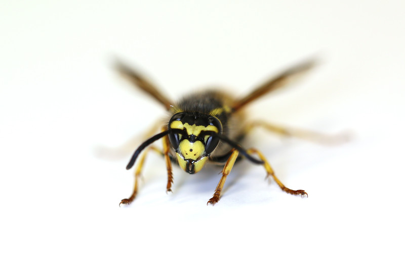 Yellow Jacket Spring Queen (Vespula)
