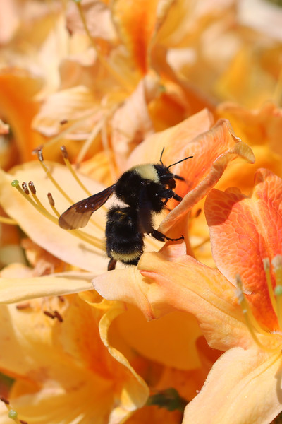 California Bumble Bee (Bombus californicus)