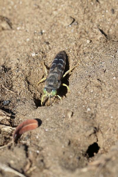 Sand Wasp (Bembix)