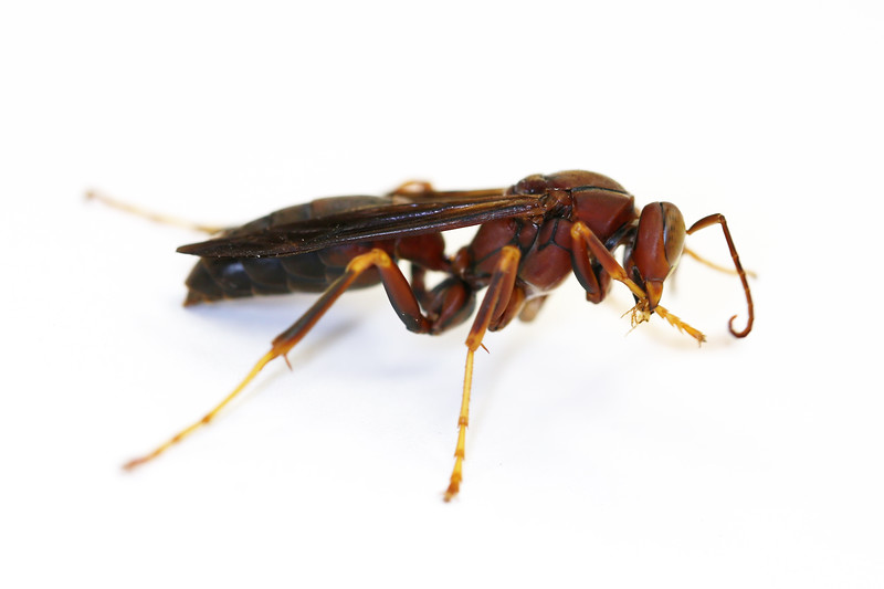 Paper Wasp Male  (Polistes metricus)
