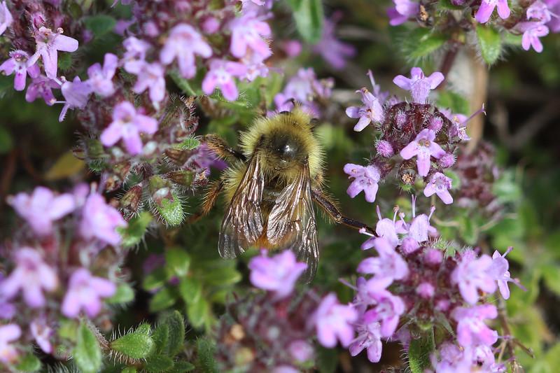 Bumble Bee (Bombus)