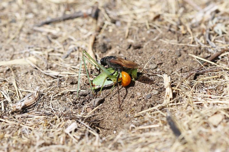 Sphecidae Wasp with Prey (Tettigoniidae)