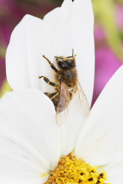 Wester Honey Bee (Apis mellifera)