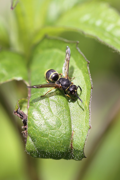 Potter Wasp (Eumeninae)
