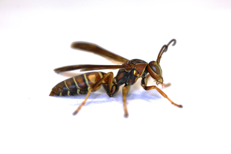 Paper Wasp Male (Unidentified, 1)
