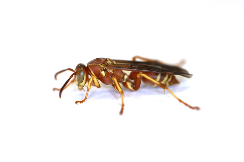Paper Wasp Fall Gyne (Polistes bellicosus)