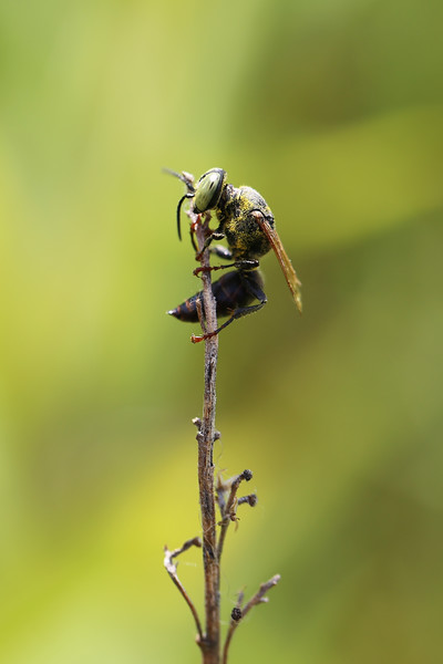 Square-headed Wasp (Crabroninae)
