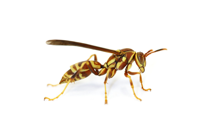 Paper Wasp Female (Polistes exclamans)