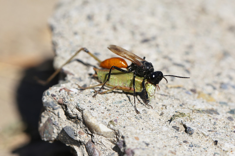 Sphecidae Wasp with Prey (Tettigoniidae)