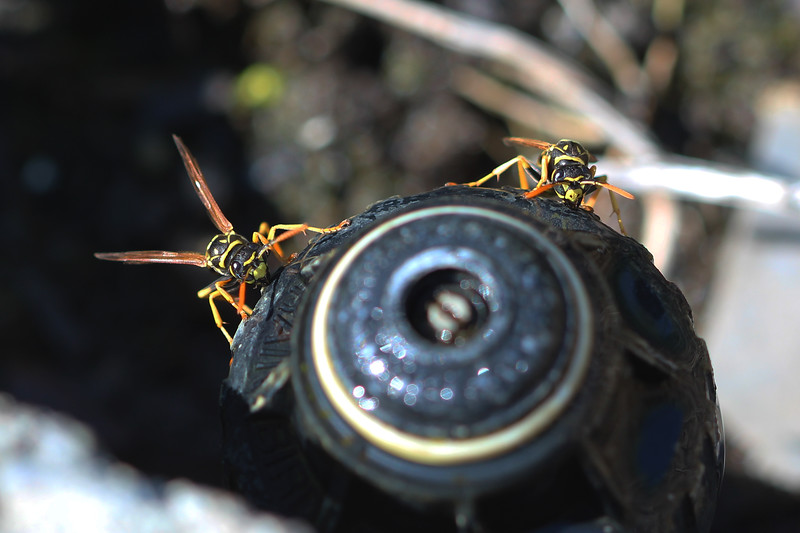 European Paper Wasps (Polistes dominula)