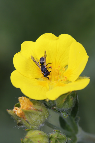 Potter Wasp (Eumeninae)