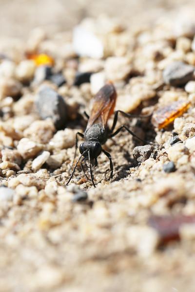 Sphecidae (likely Sphex lucae)