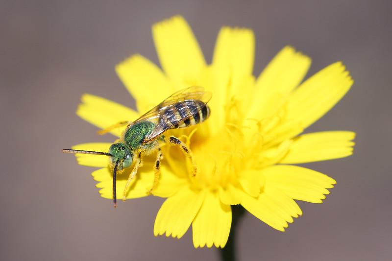Metallic Green Sweat Bee (Agapostemon)