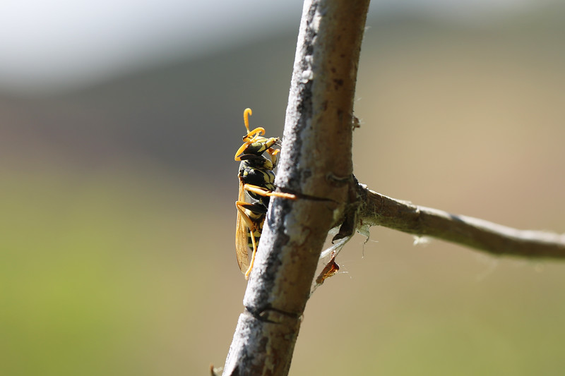 European Paper Wasp Male (Polistes dominula)