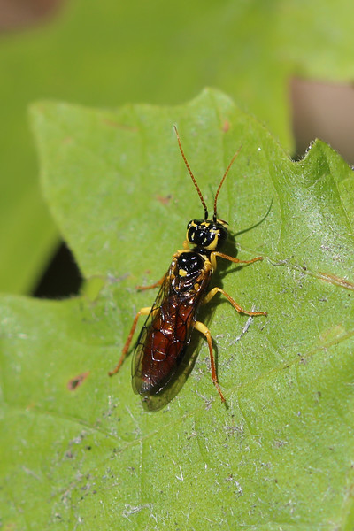 Leafrolling Sawfly (Pamphiliidae)