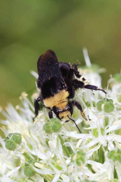 Yellow Faced Bumble Bee ( Bombus vosnesenskii)