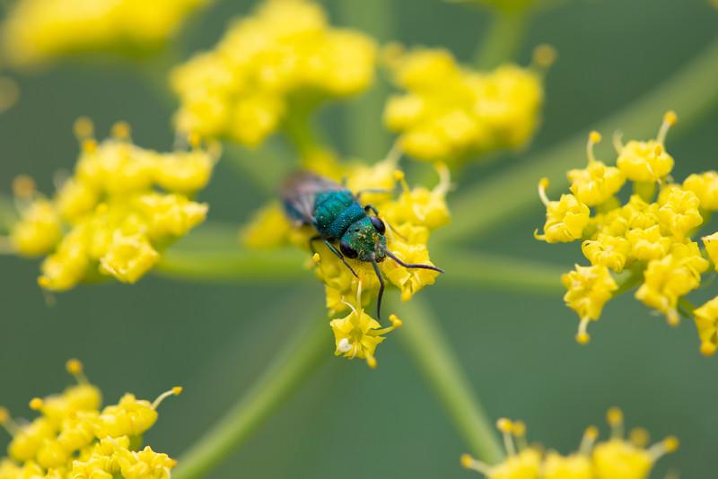 Cuckoo Wasp (Chrysididae)