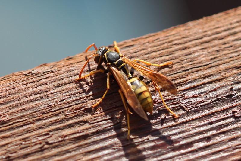 Paper Wasp (Polistes aurifer)