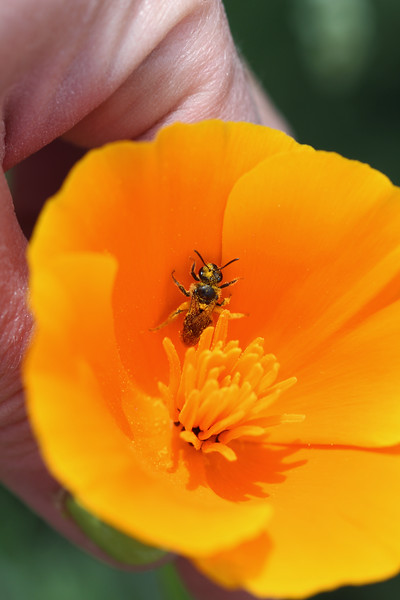 Sweat Bee (Halictidae)