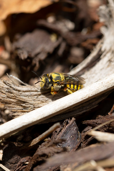 European Woolcarder Bee (Anthidium manicatum)