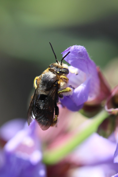 European Wool Carder Bee (Anthidium manicatum)