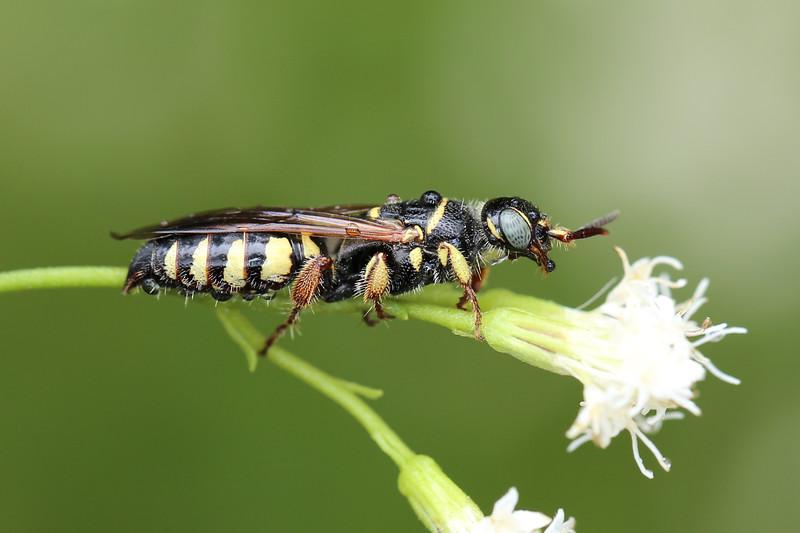 Thynnid Wasp (Myzinum carolinianum)