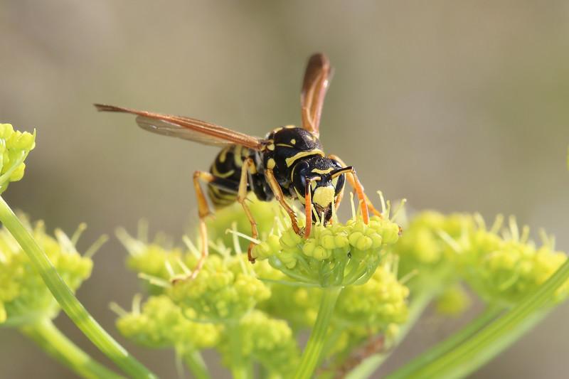European Paper Wasp (Polistes dominula)