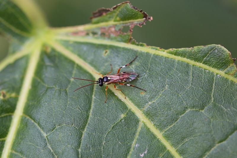 Hover Fly Parasite Ichneumonid (Diplazon laetatorius)