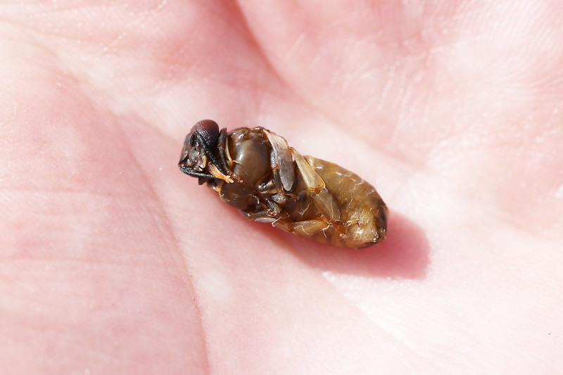 Honey Bee Worker Pupa (Apis mellifera)