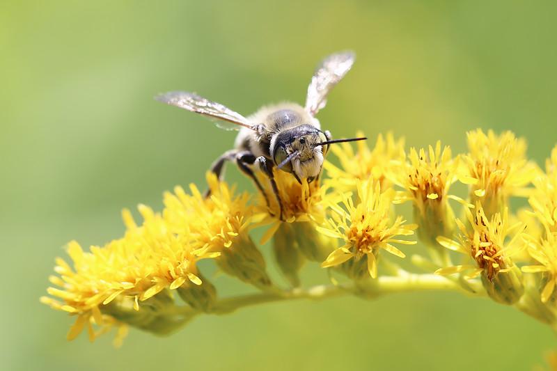 Leaf-cutter Bee (Megachilidae)