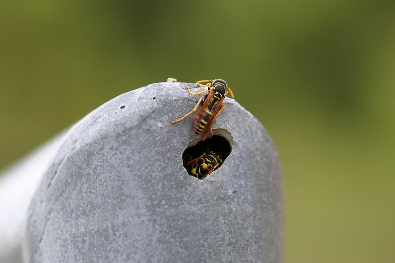 European Paper Wasps (Polistes eominula)