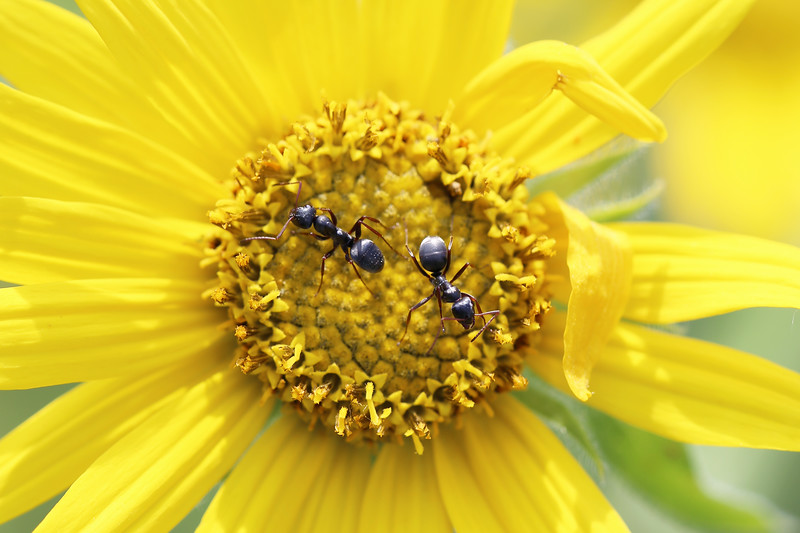 Worker Ants (Formicidae)